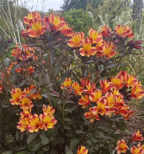 ALSTROEMERIA /'INDIAN SUMMER/' Bright Red Blooms Bronze Leaves Jumbo  PLUG PLANT