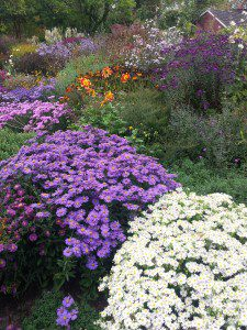 aster national collection (18)