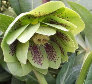 Helleborus lovely green spotted double