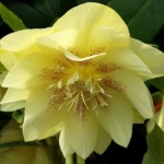 Helleborus x hybridus double reverse picotee