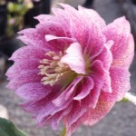 deep pink double waterlily helleborus