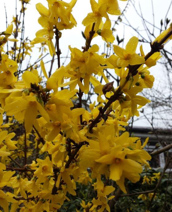 Forsythia intermedia 'Weekend'