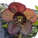 greenish brown single helleborus