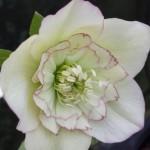 helleborus cream picotee anemone centred