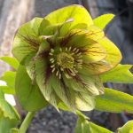 Helleborus x hybridus double green veined