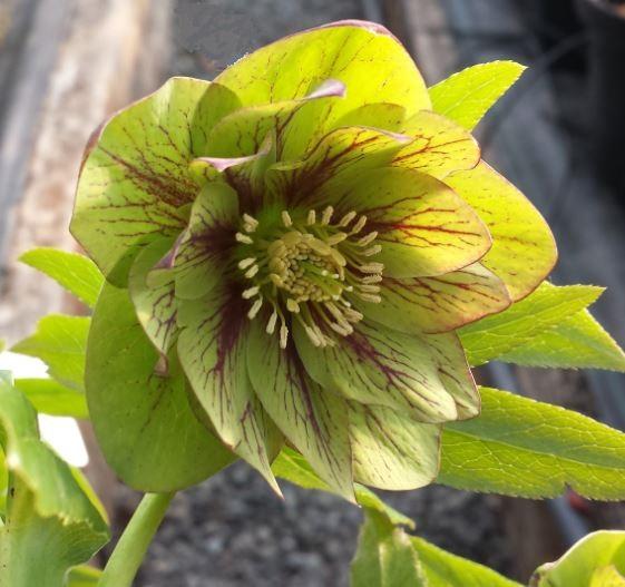 Helleborus x hybridus double green veined