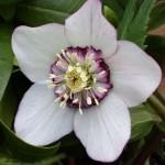 helleborus  picotee anemone centred