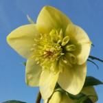 helleborus primrose anemone centred