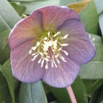 helleborus single slate grey