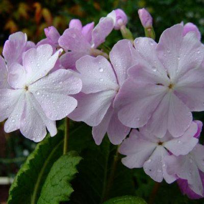 Primula sieboldii 'Sakuragaua'