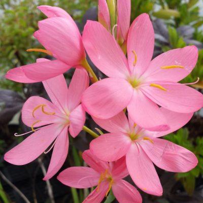 Schizostylis (Hesperantha) coccinea 'Sunrise'