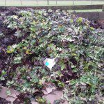 vegetable garden compost heap