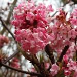 Viburnum bodnantense dawn covered in lovely pink flowers