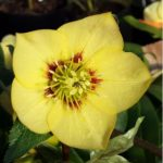 yellow hellebore