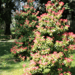 forest flame pieris planted in semi shade