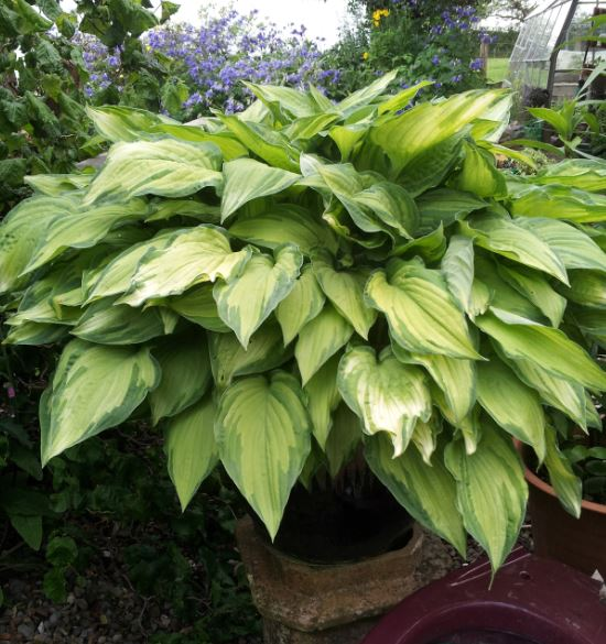 Hostas Perfect Plants For Shady Sites Farmyard Nurseries