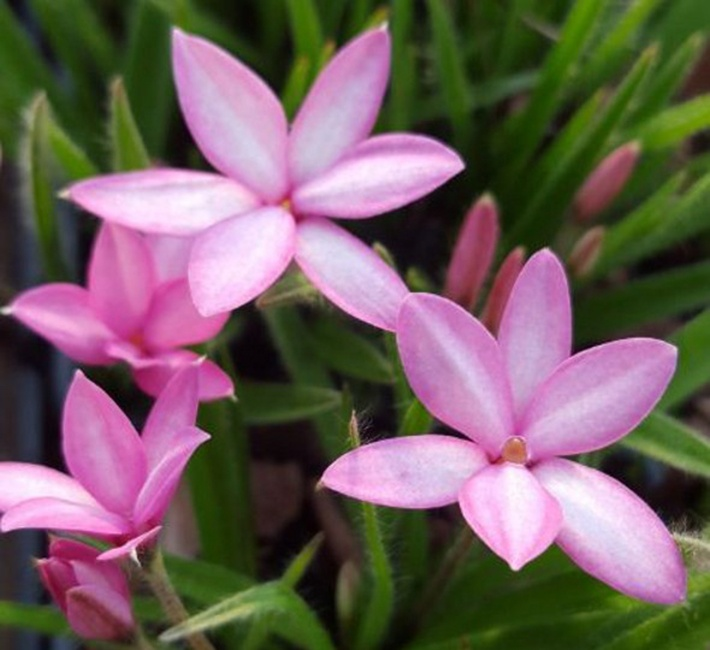 some pink rhodohypoxis