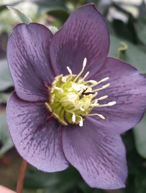 Helleborus x hybridus single slate grey