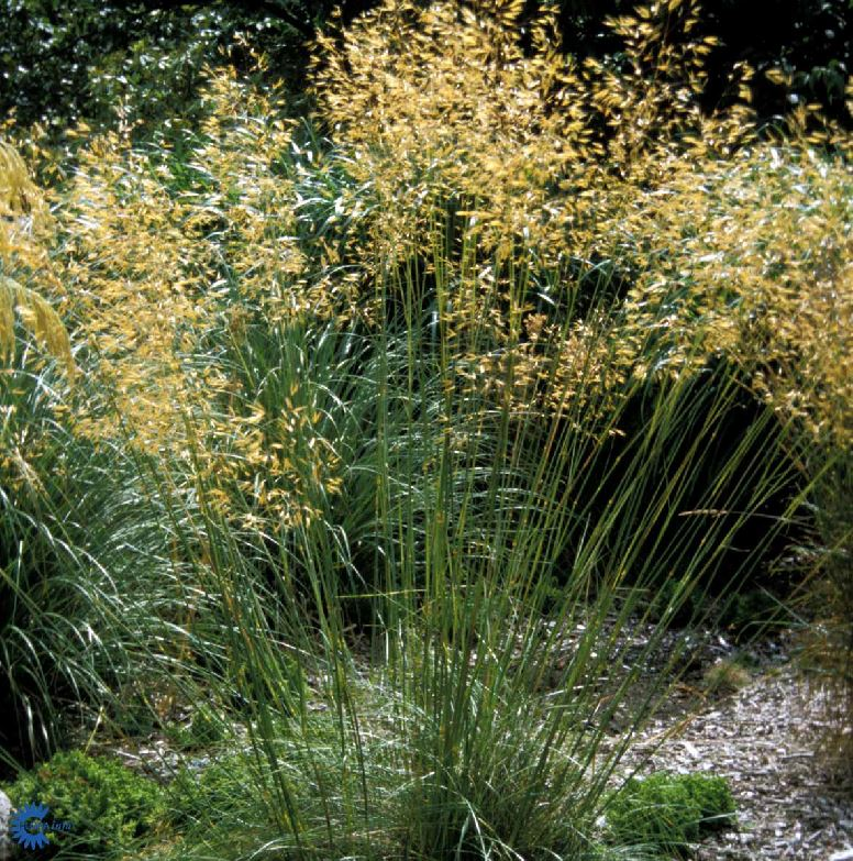 Stipa Gigantea Farmyard Nurseries