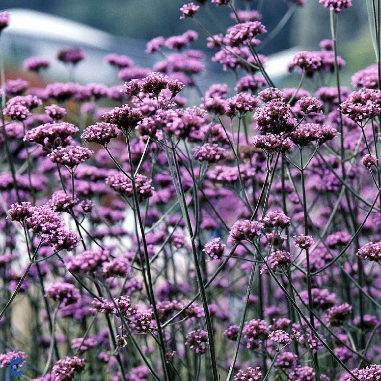 Verbena bonariensis - Farmyard Nurseries