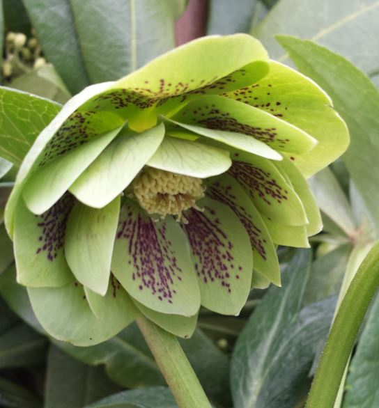 Helleborus x hybridus double green spotted