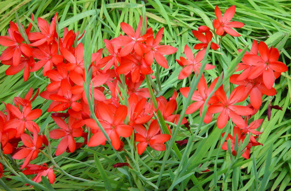 Schizostylis Hesperantha Coccinea Major Farmyard