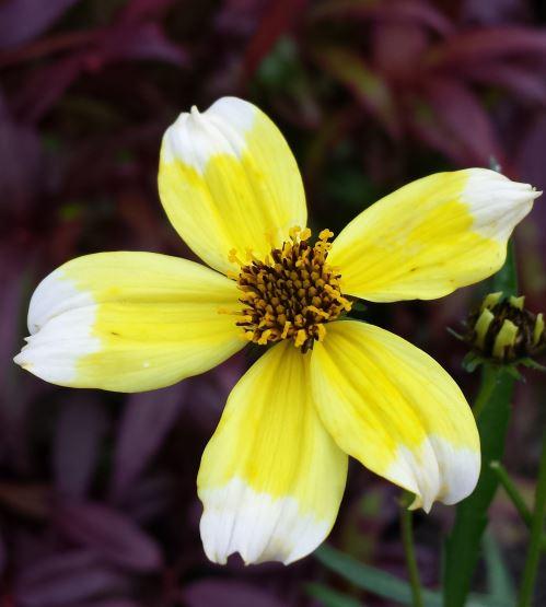 Bidens heterophylla 'Hannays Lemon Drop'