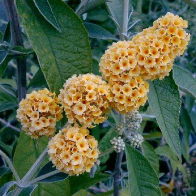 Buddleia weyeriana