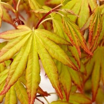 Acer palmatum 'Orange Dreams'