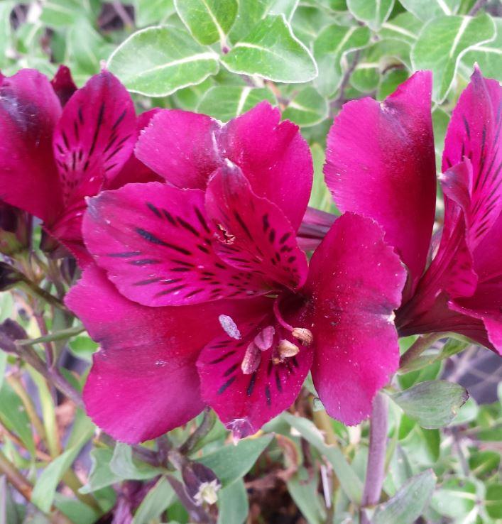 Alstroemeria Intichana Dark Purple Farmyard Nurseries