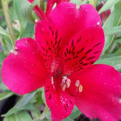 Alstroemeria intichana 'Red'