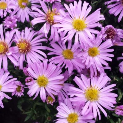 Aster novi-belgii 'Countess of Dudley'
