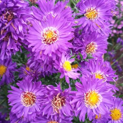 Aster novi-belgii 'Mistress Quickly'