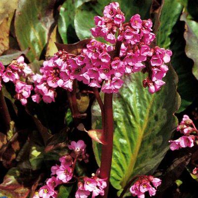 Bergenia cordifolia 'Rotblum'