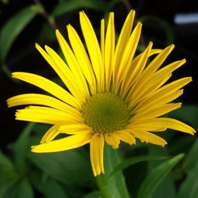 Bupthalmum salicifolium 'Dora'