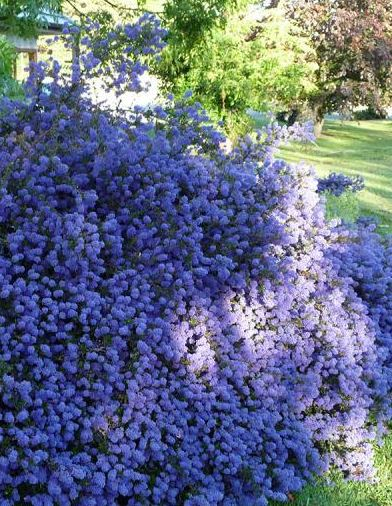 ceanothus 39 blue mound 39 farmyard nurseries. Black Bedroom Furniture Sets. Home Design Ideas