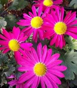 Chrysanthemum 'Mrs Jessie Cooper'