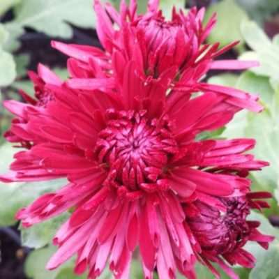 Chrysanthemum from the Wye Valley