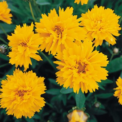 Coreopsis lanceolata 'Early Sunrise'