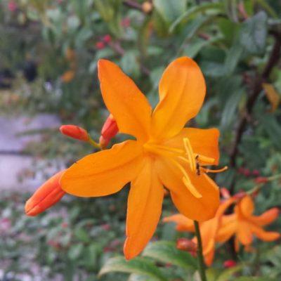 Crocosmia crocosmiiflora 'Star of the East'