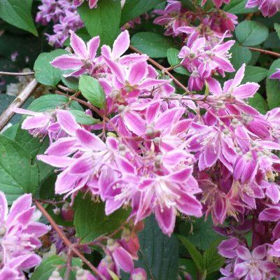 Deutzia hybrida 'Magicien'