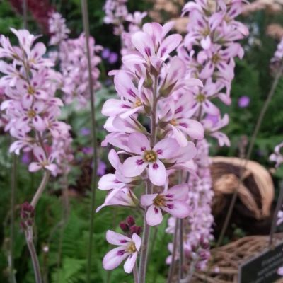 Francoa sonchifolia 'Rogersons Variety'