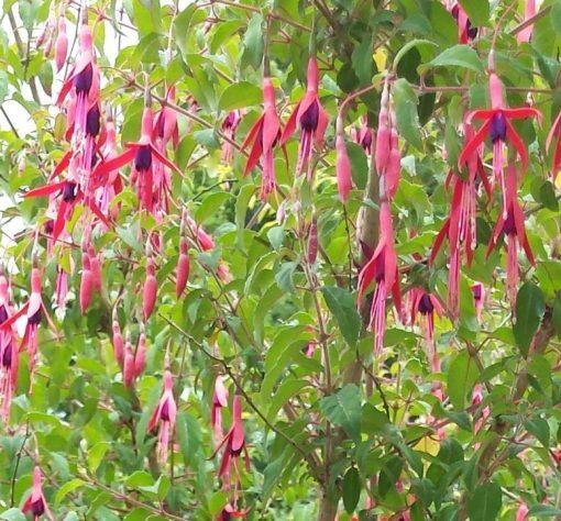 Fuchsia (Hardy) magellanica