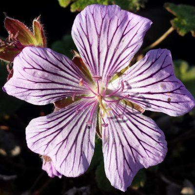 Geranium renardii 'Tschelda'