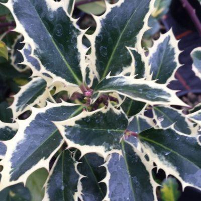 Ilex aquifoliun 'Handsworth New Silver'