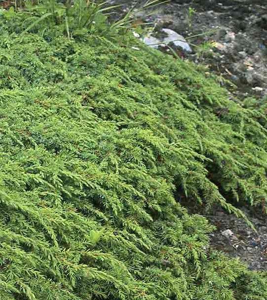 Juniperus Communis 'Greeen Carpet'