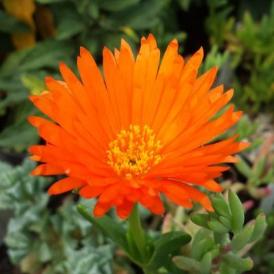 Lampranthus bright orange