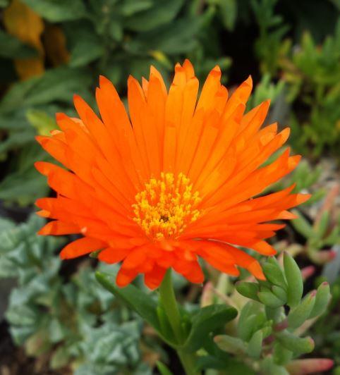 Lampranthus bright orange