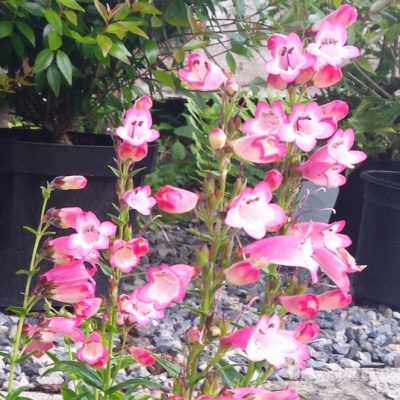 Penstemon 'Sea Coral'