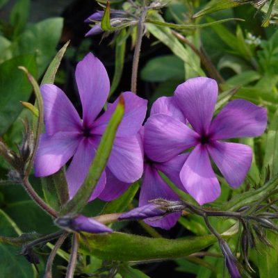 Phlox stolonifera 'Frans Purple'
